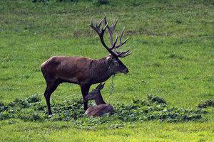 Poněšická Obora - jelení zvěř