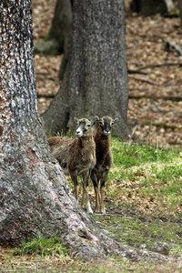 Stará obora - mufloní zvěř